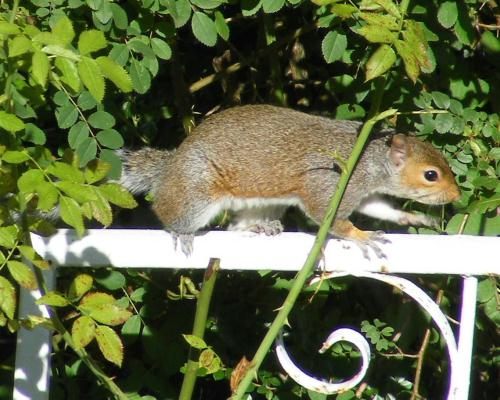 A squirrel with a taste for rosehips snapped by Paula in Adel