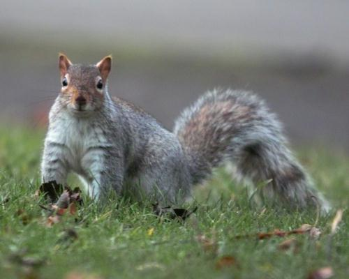A Headingley squirrel looks curious