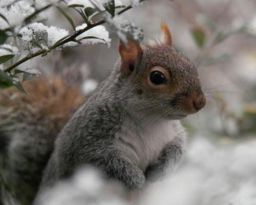 A Headingley squirrel in the snow